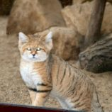 marwell-zoological-park---sand-cats-009_3074863487_o