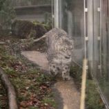 marwell-zoological-park---snow-leopard-001_3074863727_o