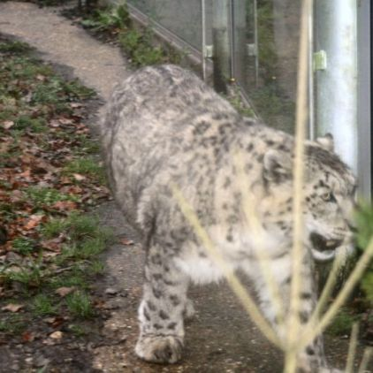 marwell-zoological-park---snow-leopard-002_3074863921_o