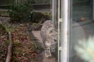 marwell-zoological-park---snow-leopard-004_3074864511_o