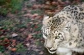 marwell-zoological-park---snow-leopard-005_3074864887_o
