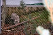 marwell-zoological-park---snow-leopard-006_3074865029_o