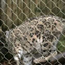 marwell-zoological-park---snow-leopard-007_3075699884_o