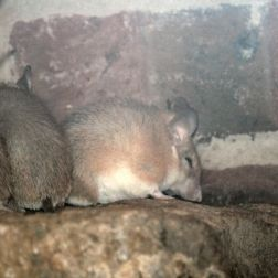 marwell-zoological-park---spiny-mouse-002_3075700172_o