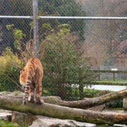 marwell-zoological-park---tiger-001_3075700314_o