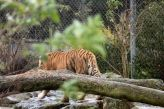 marwell-zoological-park---tiger-002_3075700542_o