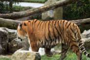marwell-zoological-park---tiger-004_3075700882_o