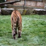 marwell-zoological-park---tiger-005_3074866407_o