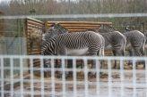 marwell-zoological-park---zebra-001_3075701422_o