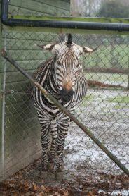 marwell-zoological-park---zebra-002_3074866981_o