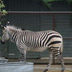 marwell-zoological-park---zebra-003_3075701892_o
