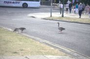 GEESE IN YORK 002