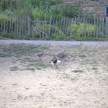 GEESE IN YORK 004