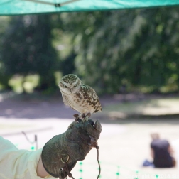 YORK, BIRDS OF PREY DISPLAY, BURROWING OWL 001