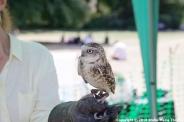 YORK, BIRDS OF PREY DISPLAY, BURROWING OWL 003