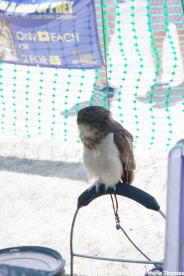 YORK, BIRDS OF PREY DISPLAY, EAST ASIAN OWL 006