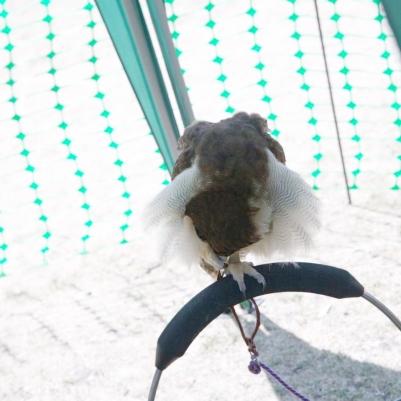 YORK, BIRDS OF PREY DISPLAY, EAST ASIAN OWL 008