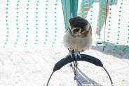 YORK, BIRDS OF PREY DISPLAY, EAST ASIAN OWL 009