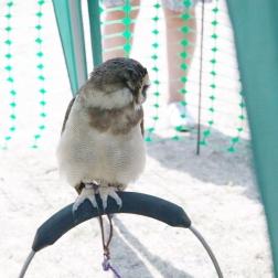 YORK, BIRDS OF PREY DISPLAY, EAST ASIAN OWL 010