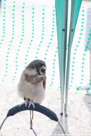 YORK, BIRDS OF PREY DISPLAY, EAST ASIAN OWL 011