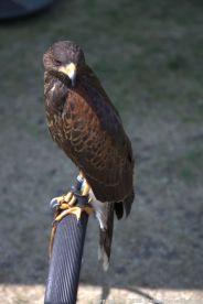 YORK, BIRDS OF PREY DISPLAY, HARRIS HAWK 012