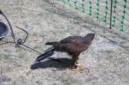 YORK, BIRDS OF PREY DISPLAY, HARRIS HAWK 015