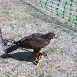 YORK, BIRDS OF PREY DISPLAY, HARRIS HAWK 017