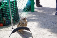 YORK, BIRDS OF PREY DISPLAY, OWL 005