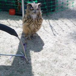 YORK, BIRDS OF PREY DISPLAY, OWL 007