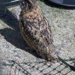 YORK, BIRDS OF PREY DISPLAY, OWL 018