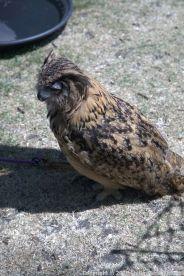 YORK, BIRDS OF PREY DISPLAY, OWL 019