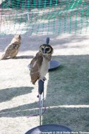 YORK, BIRDS OF PREY DISPLAY, OWLS 014